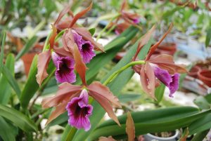 Blüte der M&M-Orchidee des Monats September 2017: Laelia tenebrosa