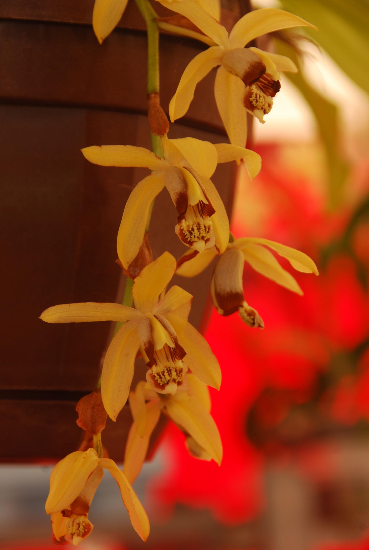 Blüte der M&M-Orchidee des Monats: Coelogyne tomentosa Orchidee von M&M Orchideen