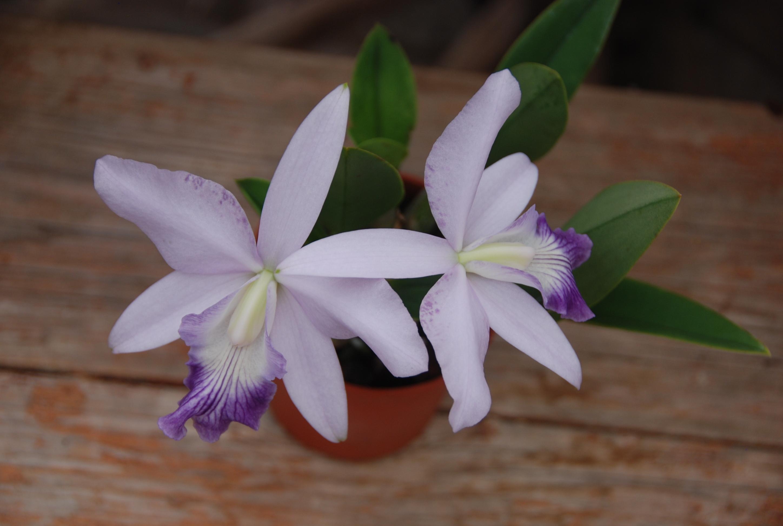 Blüte der M&M-Orchidee des Monats: Orchidee Laeliocattleya Love Knot in Blüte von M. Wolff