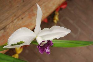 Blüte der M&M-Orchidee des Monats: Orchidee Laelia purpurata in Blüte von M. Wolff
