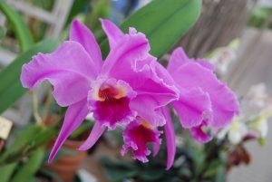 Blüte der M&M-Orchidee des Monats: Orchidee Cattleya Pink Empress