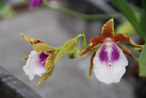 Blüte der M&M-Orchidee des Monats: Miltonia Goodale Moir Orchidee