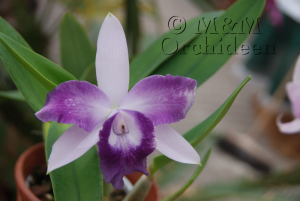 Blüte der M&M-Orchidee des Monats November 2018: C. Cariasd's Mini-Quinee 'Angel Kiss' Orchidee