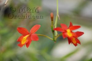 Blüte der M&M-Orchidee des Monats Februar 2019: Epiphronitis Veitchii Orchidee