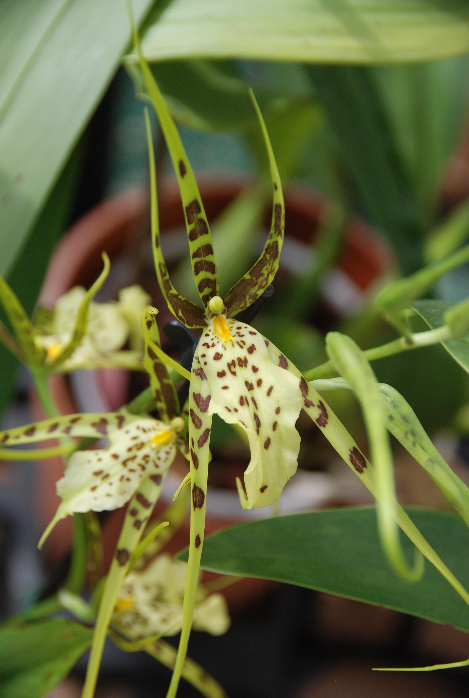 Blüte einer Brassia Arachne Verde Orchidee