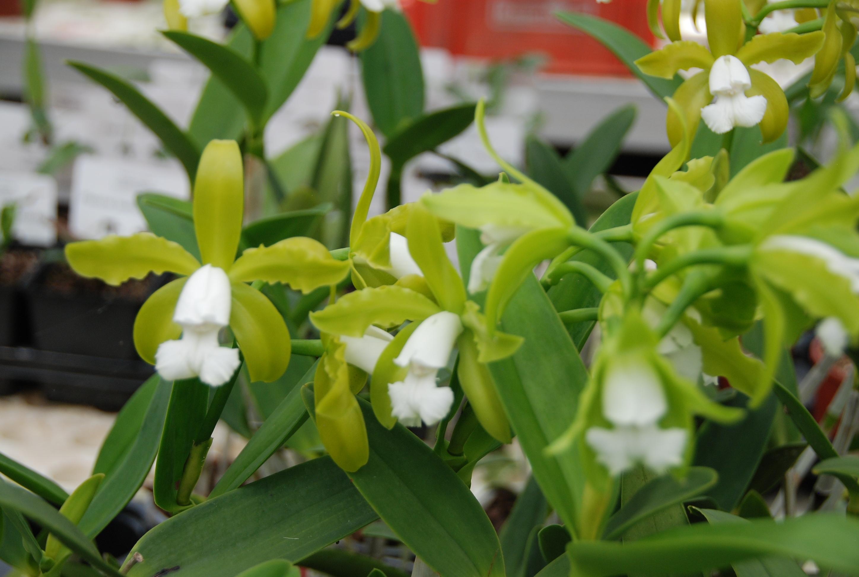 Blüte der M&M-Orchidee des Monats: Cattleya guttata alba Orchidee