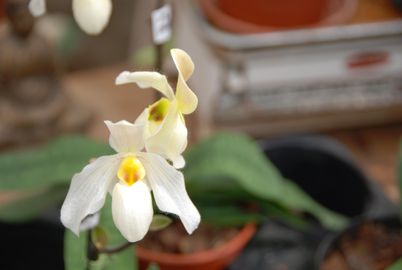 Blüte der M&M-Orchidee des Monats: Paphiopedilum Deperle Orchidee