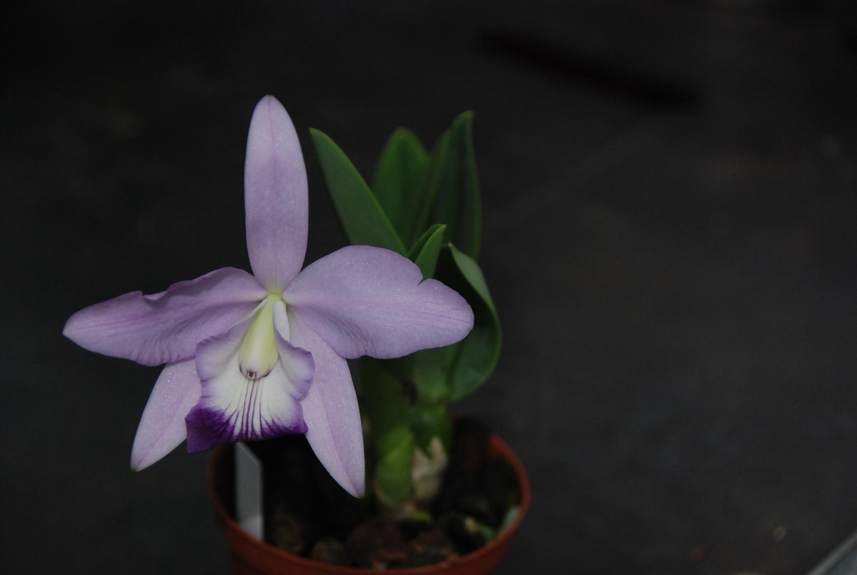Blüte der M&M-Orchidee des Monats: Orchidee Cattleya Sierra Sky