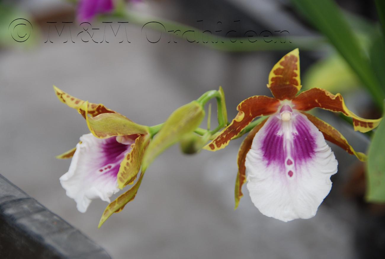 Miltonia Goodale Moir Orchidee in Blüte — © M. Wolff 2018