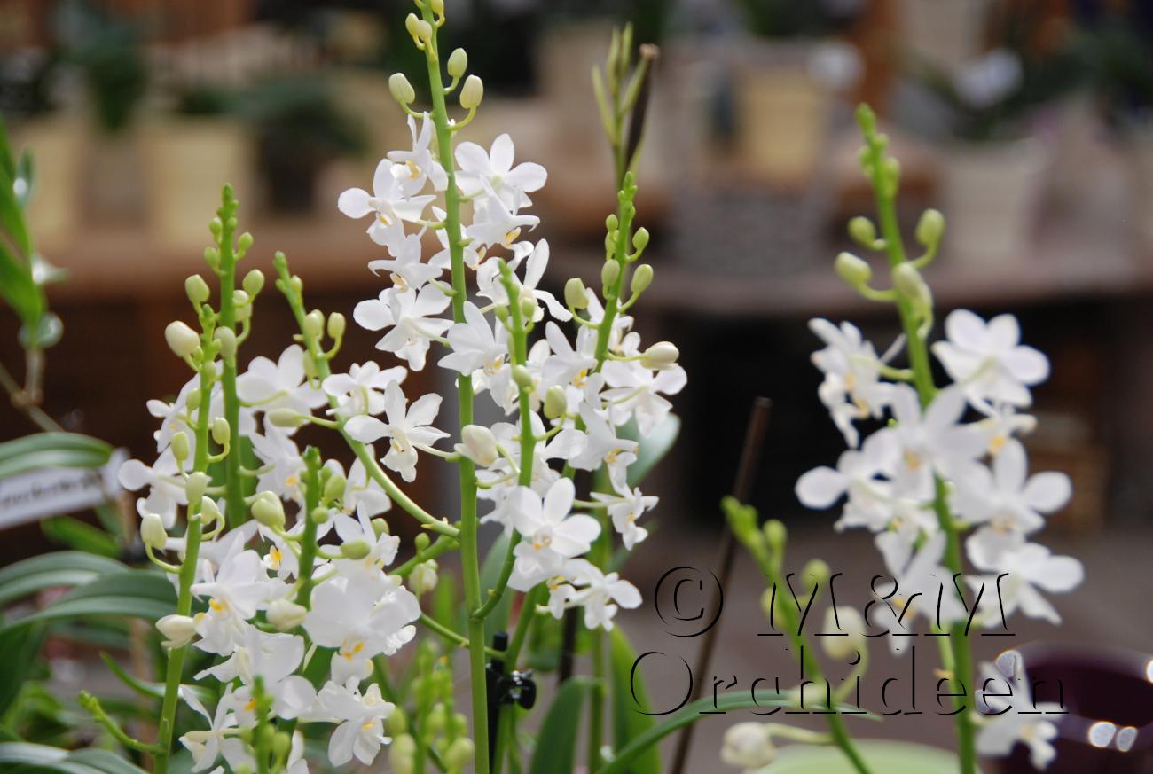 Blüte der M&M-Orchidee des Monats März 2019: Doritis pulcherrima alba