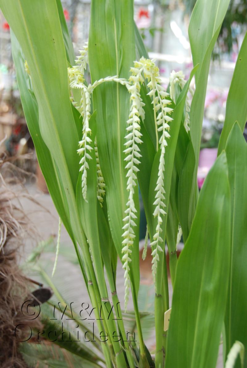 Blüte einer Dendrochilum Magnum Orchidee